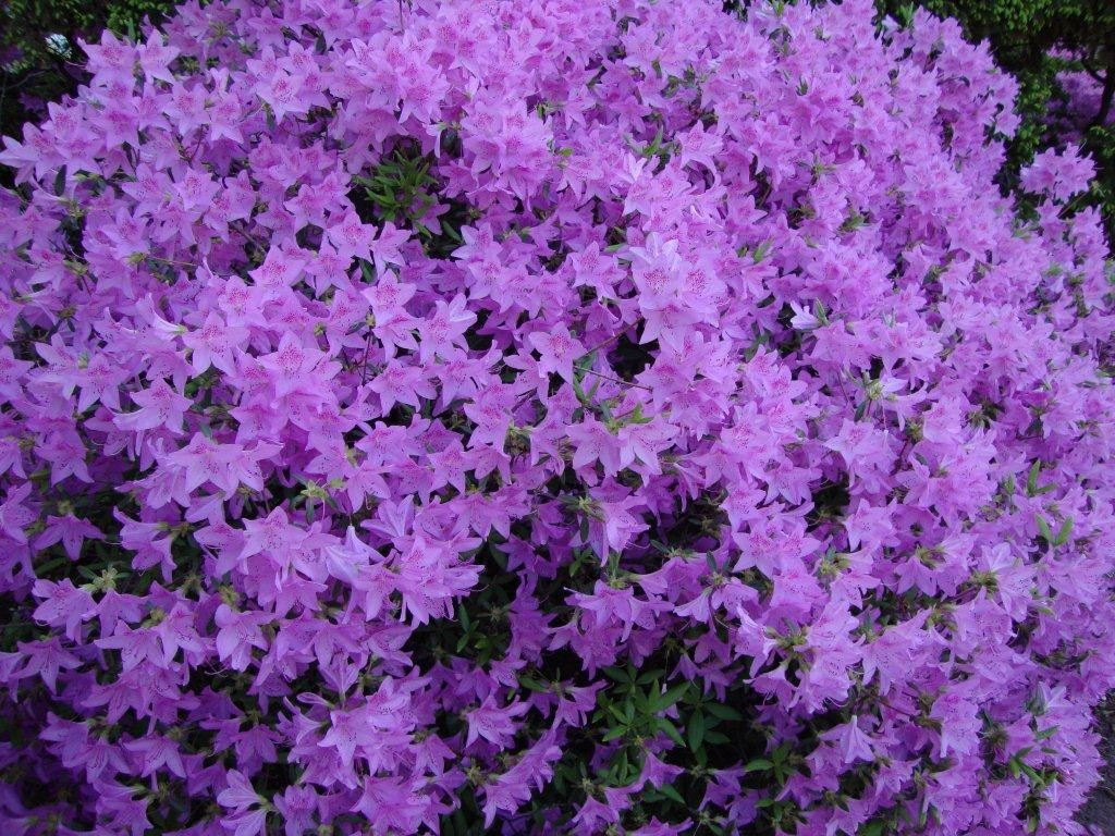 flowers-purple